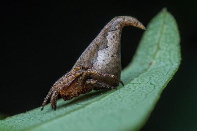 Eriovixia gryffindori pic 1